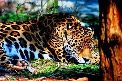 ジャガーの画像 p1_6